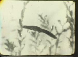 salamandra 02